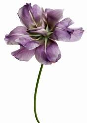 Tulipe Diamant Bleu