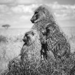 Four baboons