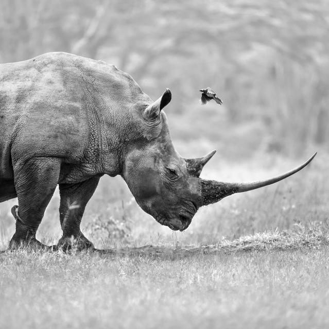 Rhino & birds - Stéphane AISENBERG