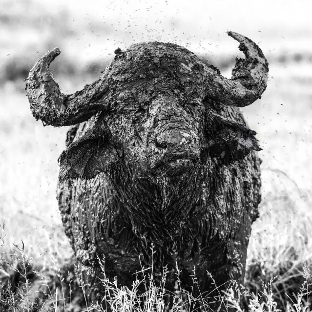 Wild buffalo - Stéphane AISENBERG