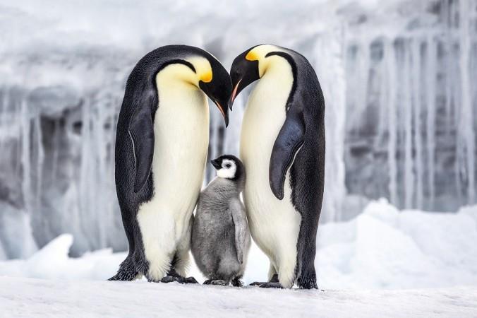 Pingouins - Manchots