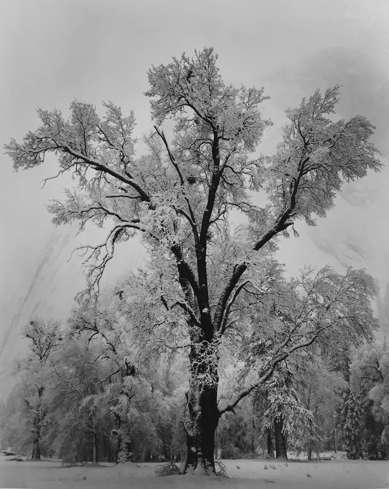 Ansel ADAMS, Oak Tree, Snowstorm, 1948