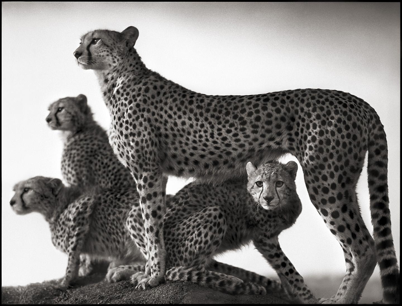 Nick BRANDT, Cheetah And Cubs, 2003