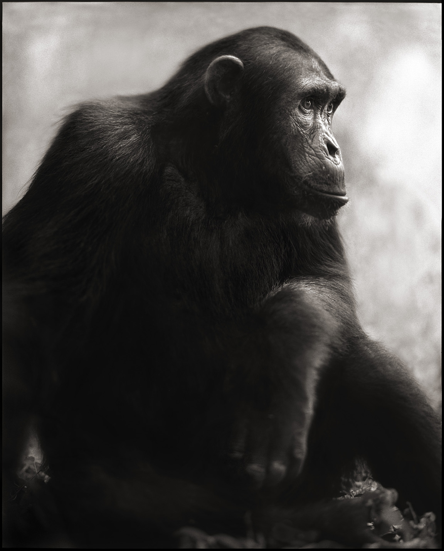nick-brandt-chimpanzee-posing-2003