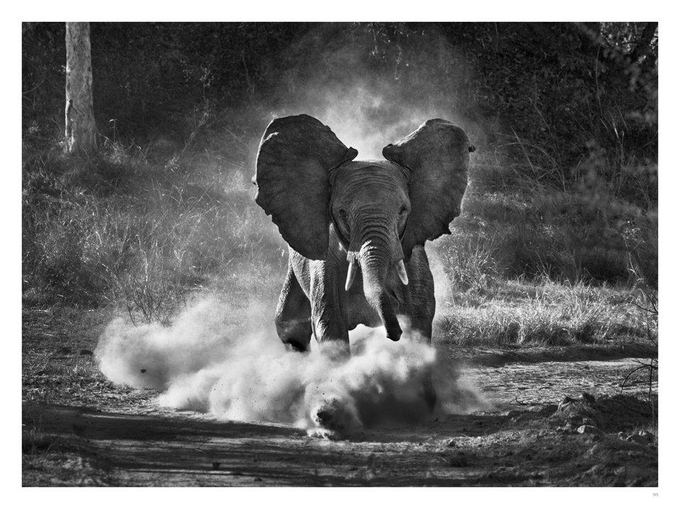 Sebastiao SALGADO, éléphant issu de Genesis, 2013