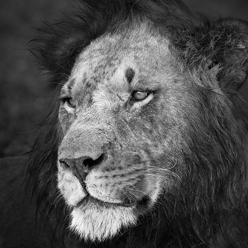Photo of a lion king in black and white.