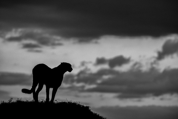Photo of a cheetah in the darkness of african savanna.