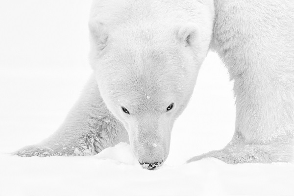 Polar bear in black and white looking at the photographer.