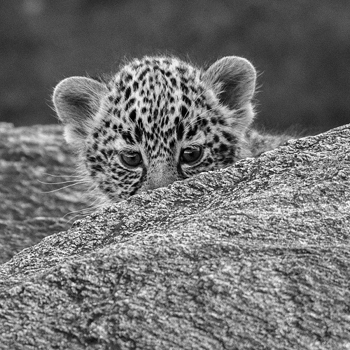 An adorable baby cheetah in black and white.