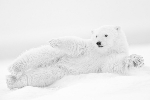 Wildlife photography in black and white, with polar bear seeming to wave at us.