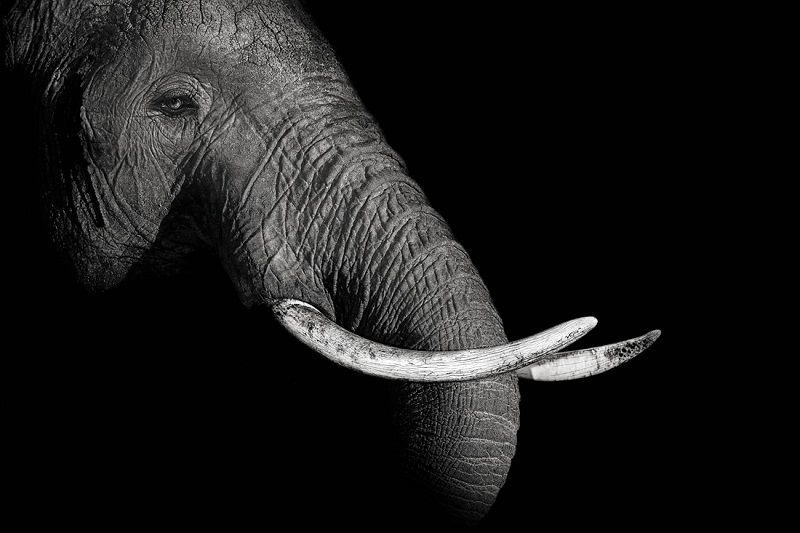 Elephant portrait in the darkness of the night.