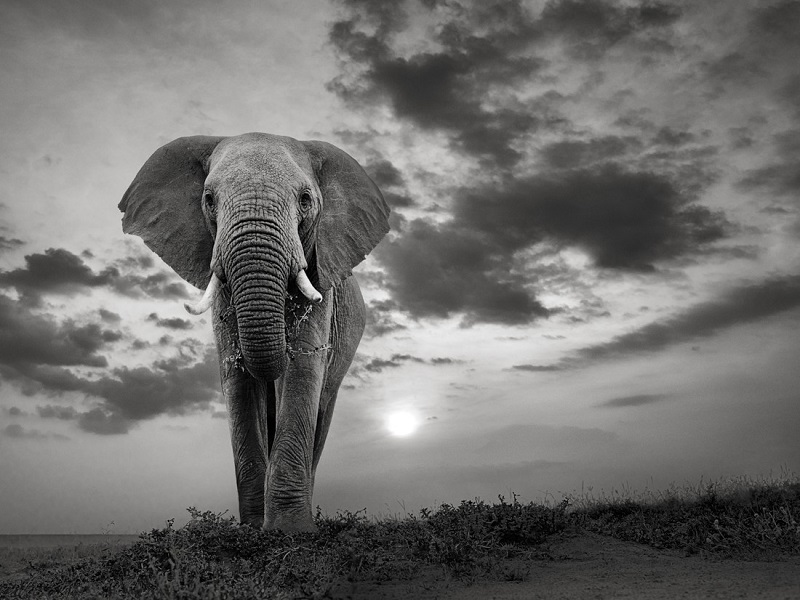 Photo in black and white of an elephant, with sunset in the background.