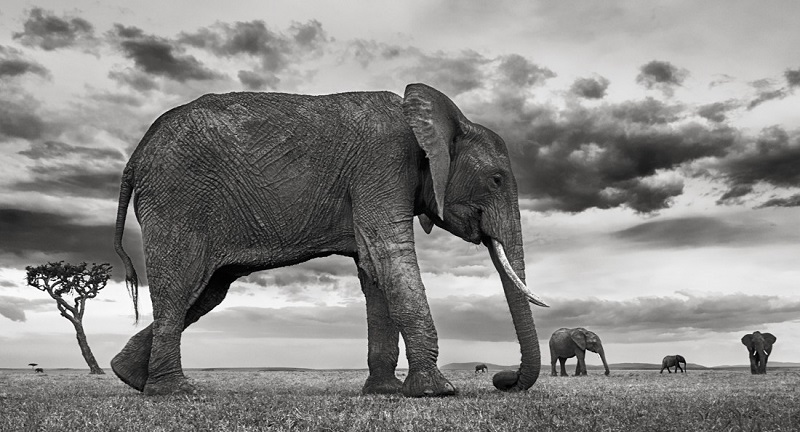 Black and white photo of elephants in african savannah.