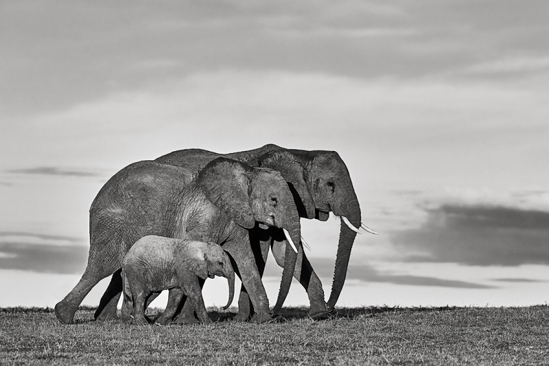 An elephant family walking in african savanna.