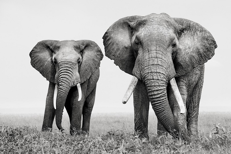 Black and white prints of two elephants.