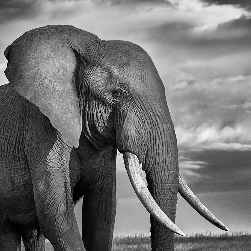 Portrait of a royal elephant in black and white conveying a deep feeling of majesty.