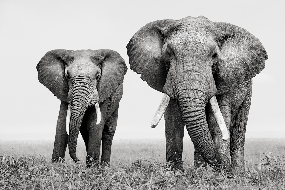 Two elephants looking at the wildlife photographer Kaziras.