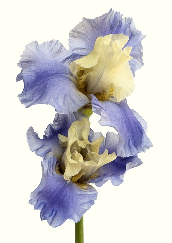 Photography of a delicate colorful flower by Rachel LEVY.