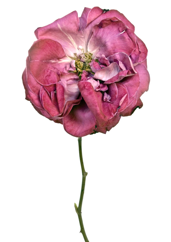 Photographie de fleur par Rachel Levy