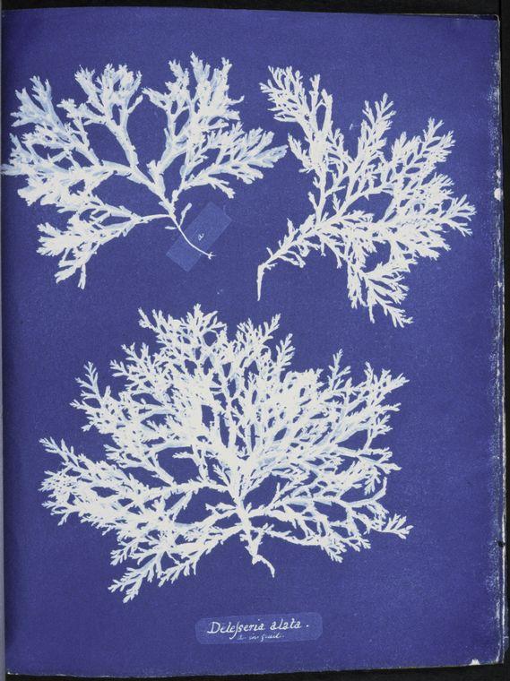 Cyanotype d'Anna ATKINS, herbier