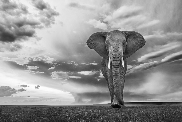 How to find and choose the perfect black and white elephant print